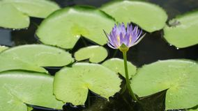 Fleur de Lotus dans la couleur pourpre photographie stock libre de droits