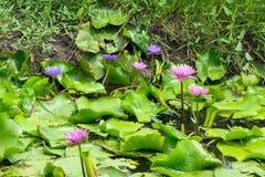 Fleur de Lotus dans le canal Photo stock