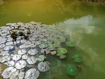 Fleur de Lotus dans le marais avec le soleil images stock
