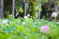Fleur de Lotus dans les jardins botaniques des Îles Maurice Photographie stock libre de droits