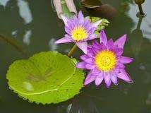 Fleur de lotus de fleur Photos stock