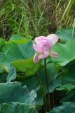 Fleur de lotus de floraison Photos stock