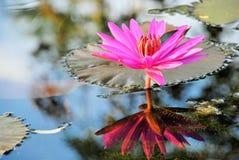 Fleur de lotus de floraison Photographie stock