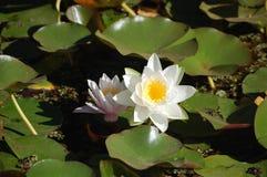 Fleur de lotus de Loto/ photographie stock