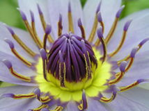 Fleur de lotus de plan rapproché Photographie stock libre de droits