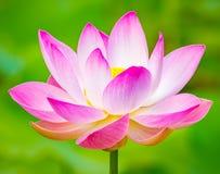 Fleur de lotus de plan rapproché photographie stock