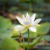 Fleur de lotus de plan rapproché photo libre de droits