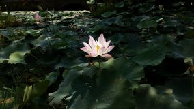 fleur de lotus de verdure Image stock
