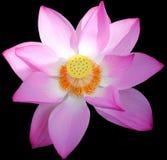 Fleur de lotus en Chine Image libre de droits