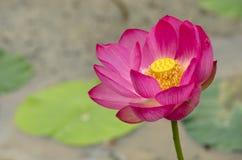 Fleur de Lotus en noir et blanc Images libres de droits