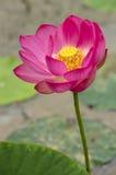 Fleur de Lotus en noir et blanc Photos stock