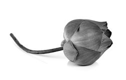 Fleur de Lotus en noir et blanc d'isolement sur le fond blanc image libre de droits