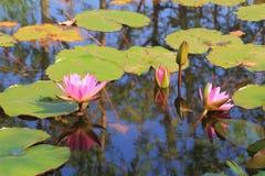 Fleur de Lotus en Thaïlande images stock