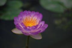 Fleur de Lotus et feuilles de lotus Photographie stock libre de droits