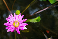 Fleur de Lotus et fleur de Lotus Photographie stock