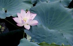 Fleur de Lotus et usines de fleur de Lotus Image stock