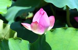 Fleur de Lotus et usines de fleur de Lotus Images libres de droits