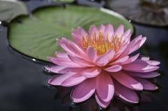 Fleur de Lotus et usines de fleur de Lotus Photos stock