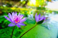 fleur de lotus fleurissant sur l'eau dans le jardin, Thaïlande Images libres de droits