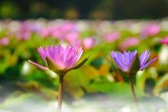 fleur de lotus fleurissant sur l'eau dans le jardin, Thaïlande Photos stock