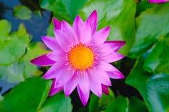 fleur de lotus fleurissant sur l'eau dans le jardin, Thaïlande Image stock