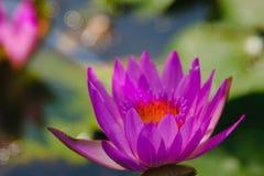 fleur de lotus fleurissant sur l'eau dans le jardin, Thaïlande Image libre de droits