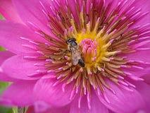Fleur de lotus fuchsia photographie stock libre de droits