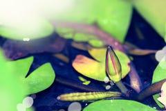 Fleur de Lotus - image courante Photos stock