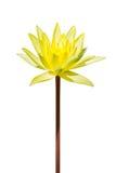 Fleur de lotus jaune d'isolement Photo stock
