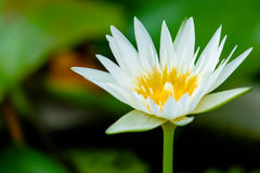Fleur de Lotus jaune et usines de fleur de Lotus Images libres de droits