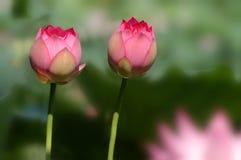 Fleur de lotus jumelle Photos libres de droits