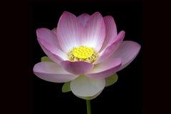 Fleur de Lotus ; nucifera Image libre de droits