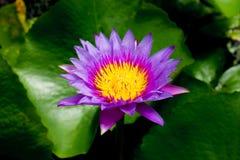 Fleur de Lotus pour des milieux d'opject Photographie stock libre de droits