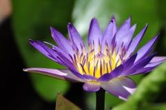 Fleur de lotus pourprée Photographie stock libre de droits