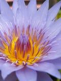 Fleur de lotus pourprée Photo stock