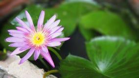Fleur de lotus pourprée Images libres de droits
