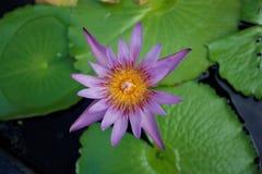 Fleur de lotus pourprée Photos libres de droits