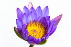 Fleur de lotus pourprée et fond blanc. Photo stock