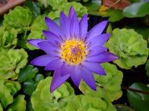 Fleur de lotus pourprée, Thaïlande. Photo libre de droits