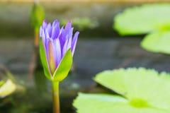 Fleur de lotus pourpre de brith tôt sur le lac de l'eau Photographie stock