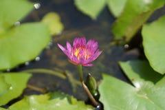 Fleur de lotus pourpre dans l'étang Photographie stock libre de droits