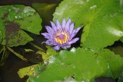 Fleur de lotus pourpre dans l'étang Images stock