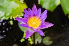 Fleur de lotus pourpre dans la floraison Photo stock