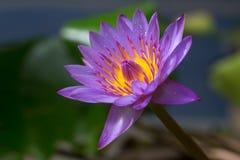 Fleur de lotus pourpre de beau pollen Photos libres de droits