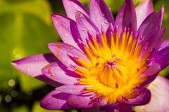 Fleur de lotus pourpre de plan rapproché et gouttes de l'eau de pluie. Image libre de droits
