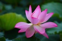 Fleur de lotus rose Image stock