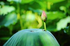 Fleur de lotus rose Images libres de droits