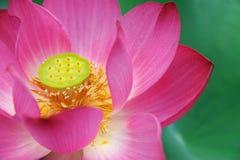 Fleur de lotus rose Images stock