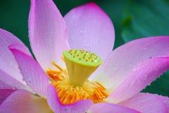 Fleur de Lotus rose Photographie stock libre de droits