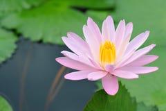 Fleur de lotus rose Photographie stock